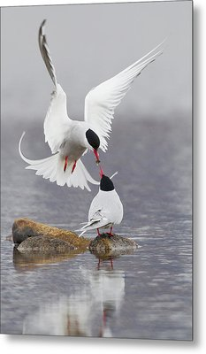 Arctic Terns, Courtship Metal Print by Ken Archer
