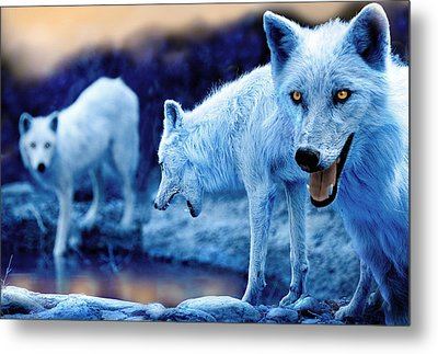 Arctic White Wolves Metal Print