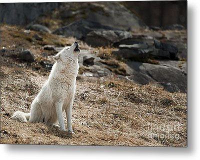 Metal Print featuring the photograph Arctic Wolf Howling by Wolves Only