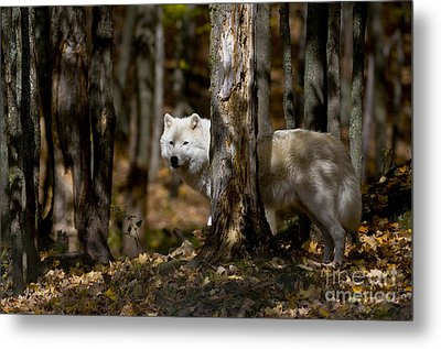Metal Print featuring the photograph Arctic Wolf In Forest by Wolves Only