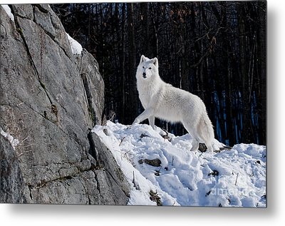 Metal Print featuring the photograph Arctic Wolf On Rock Cliff by Wolves Only