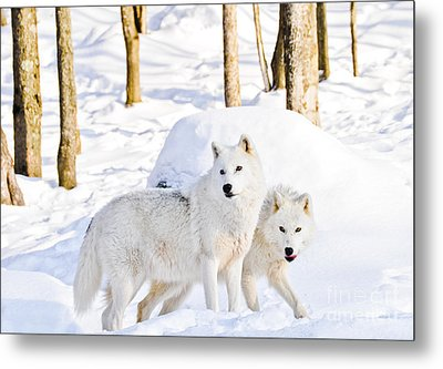 Arctic Wolves Metal Print by Cheryl Baxter