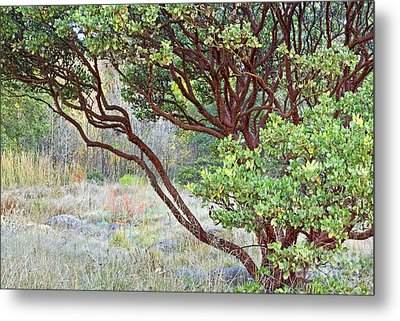 Metal Print featuring the photograph Arctostaphylos Hybrid by Kate Brown
