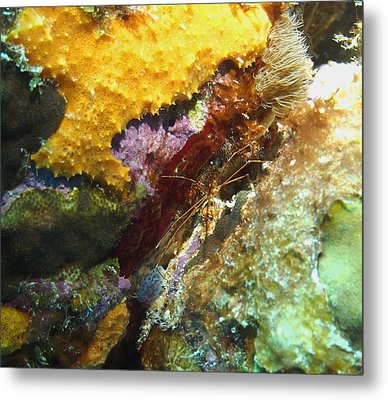 Metal Print featuring the photograph Arrow Crab In A Rainbow Of Coral by Amy McDaniel
