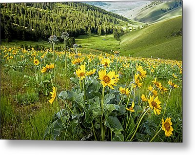 Metal Print featuring the photograph Arrow Leaf Balsam Root by Jack Bell