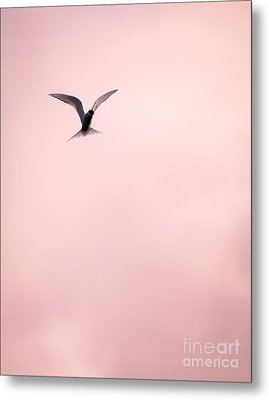 Metal Print featuring the photograph Artic Tern High In The Sky by Peta Thames