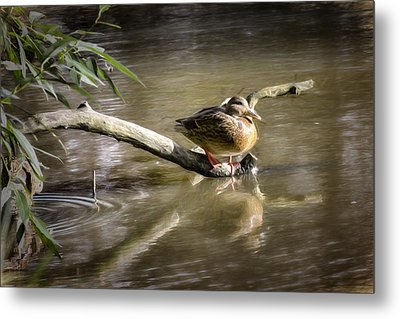 Artistic Paintiry Female Mallard Duck Sitting On A Log Near And Reflected In Water Metal Print by Leif Sohlman