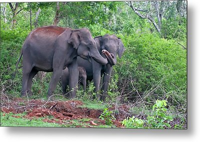 Asian Elephants With Calf Metal Print