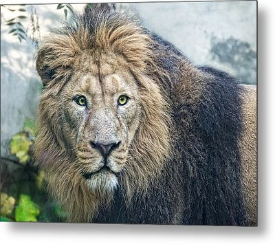 Asian Lion Metal Print by Joachim G Pinkawa