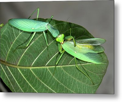 Asian Mantis Eating Her Mate Metal Print by K Jayaram