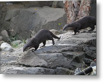 Asian Small Clawed Otter - National Zoo - 01132 Metal Print by DC Photographer
