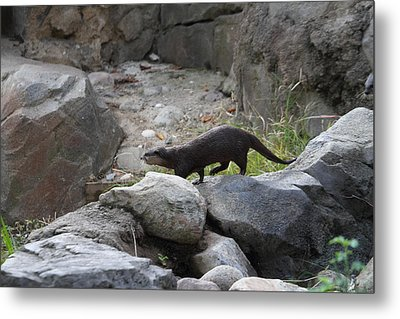 Asian Small Clawed Otter - National Zoo - 01134 Metal Print by DC Photographer