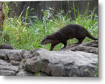 Asian Small Clawed Otter - National Zoo - 01135 Metal Print by DC Photographer
