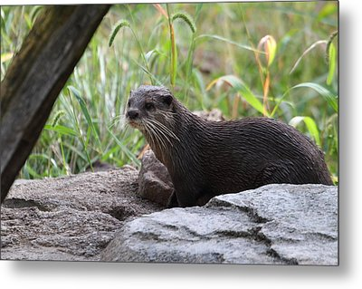 Asian Small Clawed Otter - National Zoo - 01137 Metal Print by DC Photographer