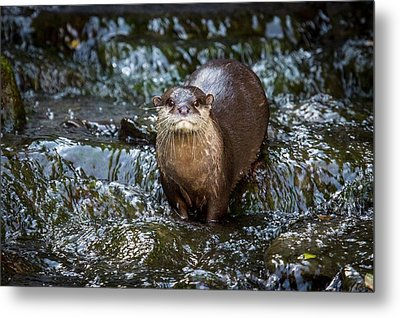 Asian Small-clawed Otter Metal Print by Paul Williams