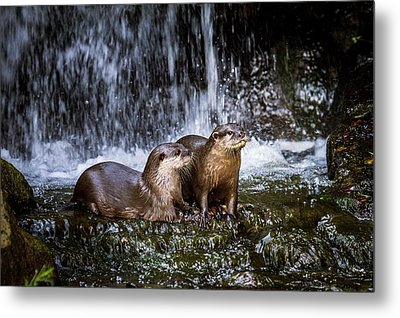 Asian Small-clawed Otters Metal Print by Paul Williams