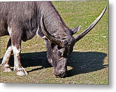 Asian Water Buffalo  Metal Print by Miroslava Jurcik