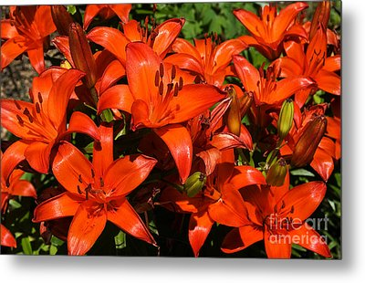 Metal Print featuring the photograph Asiatic Lily by Sue Smith