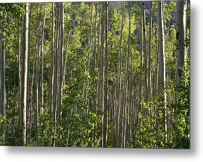 Aspen Along Independence Pass  Metal Print by Jacqueline Russell