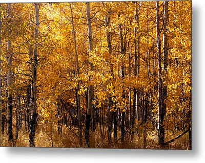 Metal Print featuring the photograph Aspen Grove Tahoe City by William Havle