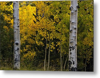 Aspen Light Metal Print by Dave Dilli