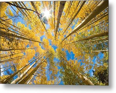 Aspen Trees Looking Up Metal Print