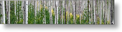 Aspen Trees Metal Print by Steve Gadomski
