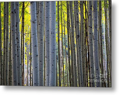 Aspen Trunks Metal Print by Inge Johnsson