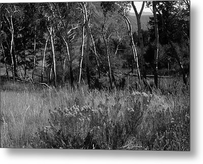 Aspen Yellowstone National Park-bw Metal Print by Harold E McCray