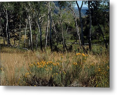 Aspen Yellowstone National Park Metal Print by Harold E McCray