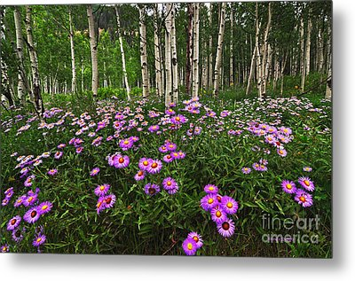 Aspens And Asters Metal Print