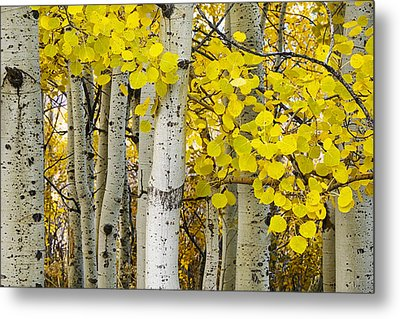 Aspens At Autumn Metal Print by Andrew Soundarajan