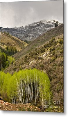 Aspens In Early Summer Storm Metal Print by Matt Tilghman