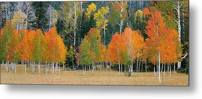 Aspens And Meadow-pan Metal Print
