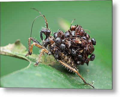 Assassin Bug Nymph With Ants Metal Print by Melvyn Yeo