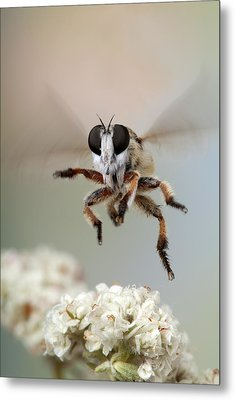 Assassin Fly Leaving Buckwheat Blossoms Metal Print by Robert Jensen