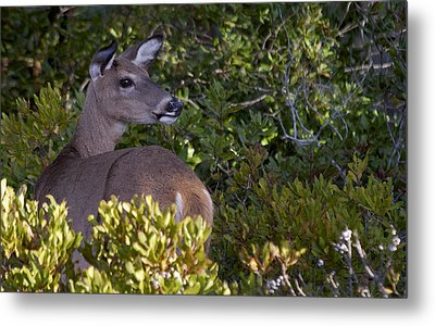 Asseteague Island Doe1  Metal Print by Greg Vizzi