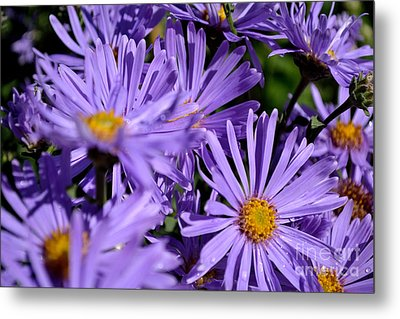 Metal Print featuring the photograph Asters After The Rain by Scott Lyons