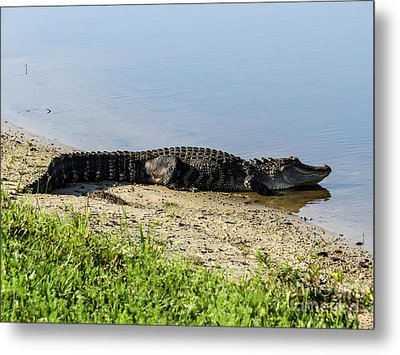 At The Lake Alligator Metal Print by Zina Stromberg