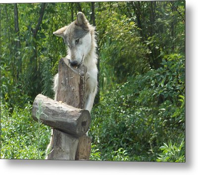 At Wolf Hollow Metal Print by Catherine Gagne