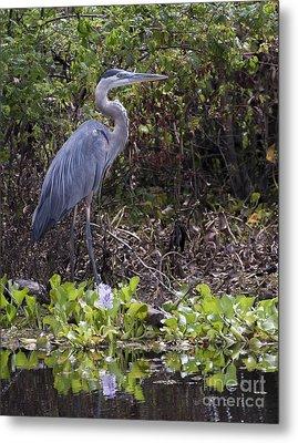 Atchafalaya Swamp Blue Heron Metal Print by D Wallace