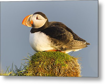 Atlantic Puffin Iceland Metal Print by Peer von Wahl