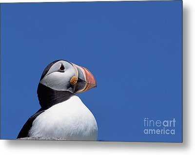 Atlantic Puffin In Breeding Colors Metal Print by