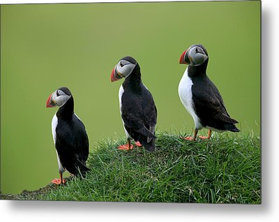 Atlantic Puffin Trio On Cliff Metal Print by Cyril Ruoso