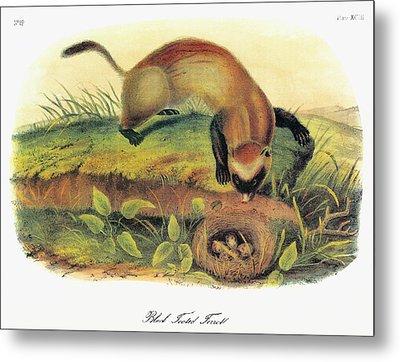 Audubon Ferret Metal Print