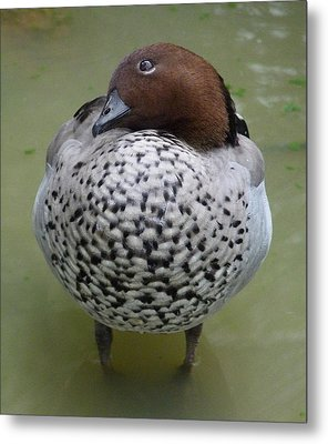 Australian Wood Duck Metal Print by Margaret Saheed