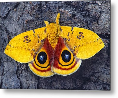 Automeris Io Silk Moth Metal Print by Robert Jensen