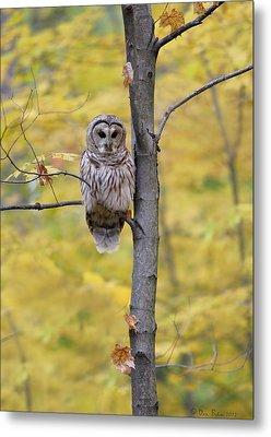 Autumn Barred Owl Metal Print