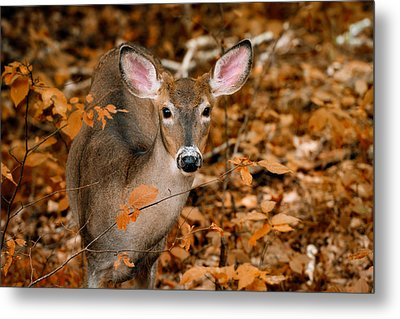 Autumn Buck Metal Print by Tracy Munson