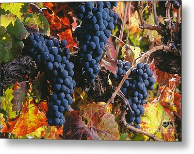 Autumn Cabernet Clusters  Metal Print by Craig Lovell